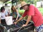 Bucketing grapes to put into de-stemmer
